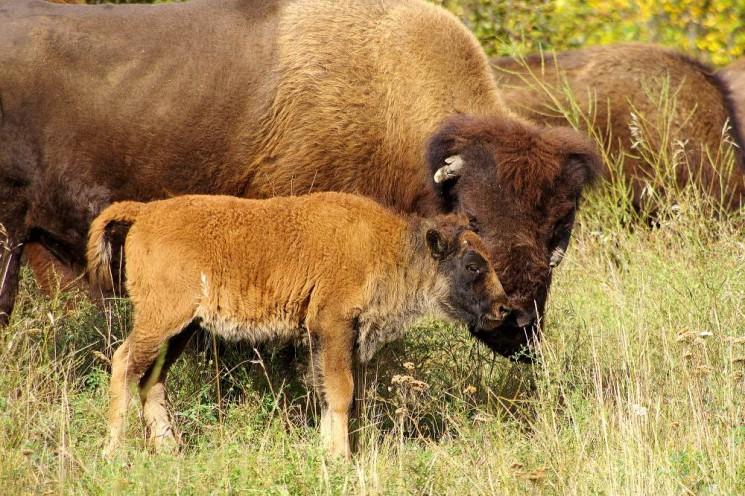 Bizoni na Yukonu   Fota z cest   Za zvířaty 3efc9d81e57